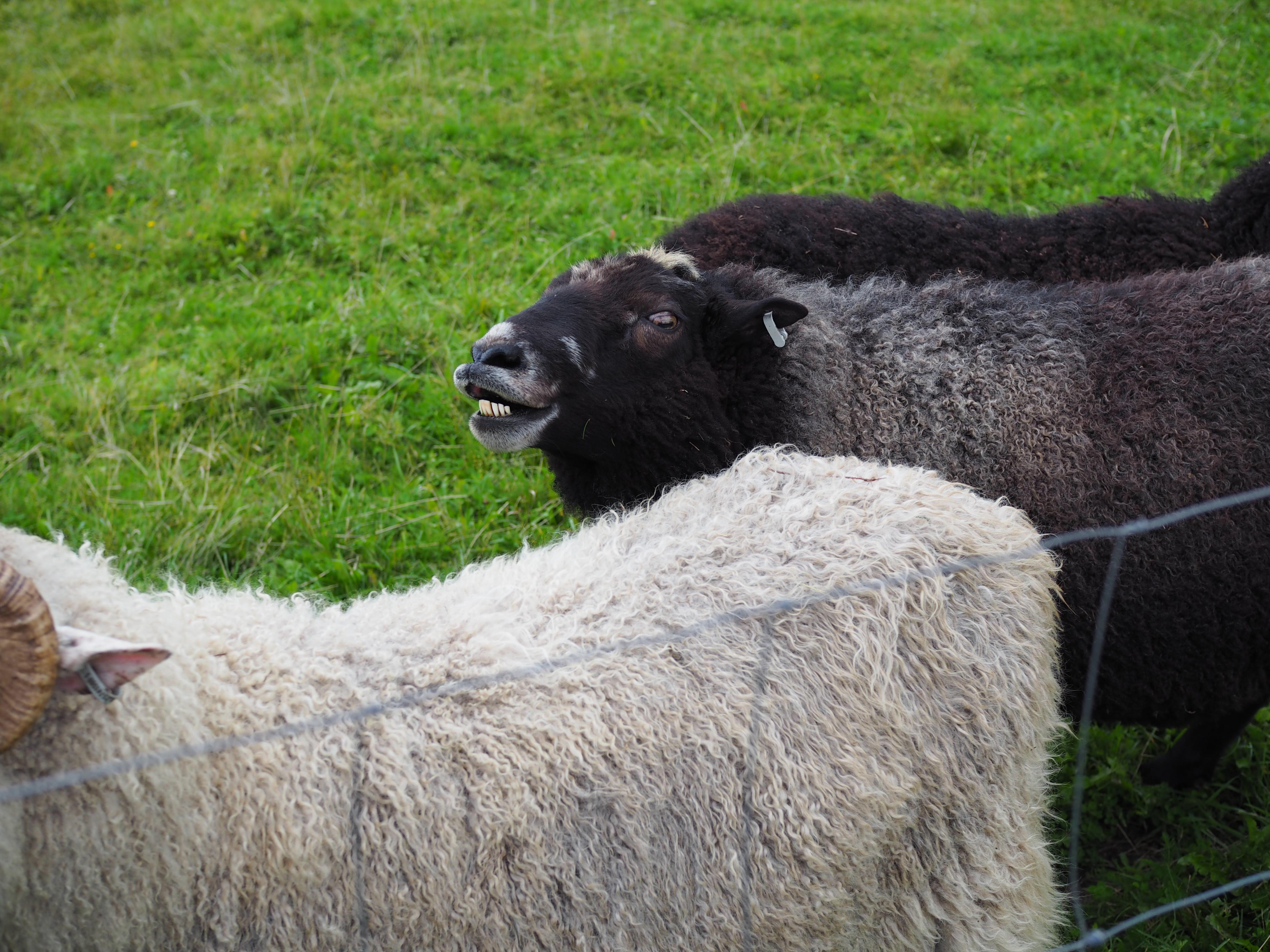 Tää hymyhuuli hyppäs yhtäkkiä valkeen lampaan selkään